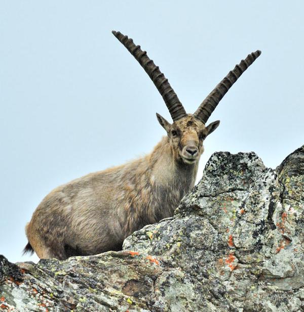 Das Gehörn eines ausgewachsenen Steinbocks kann bis zu 1 m lang werden. Die Jahrlinge bei der Auswilderung in die Wild-WG sind noch hornlos. Bild: Tiroler Schutzgebiete.